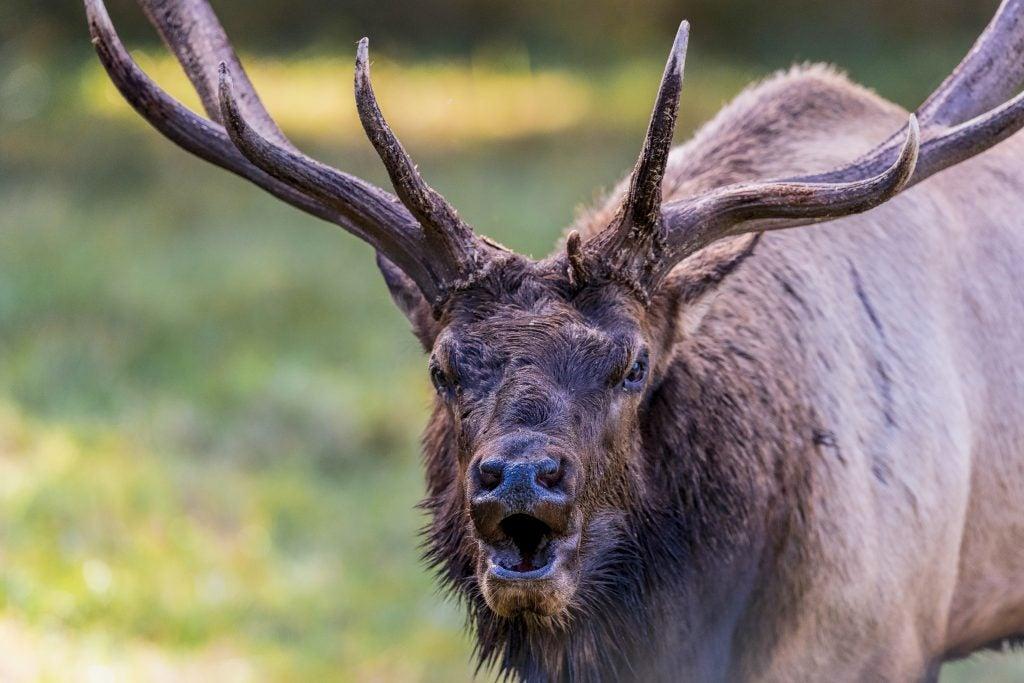 Elk in rut Northwest Trek