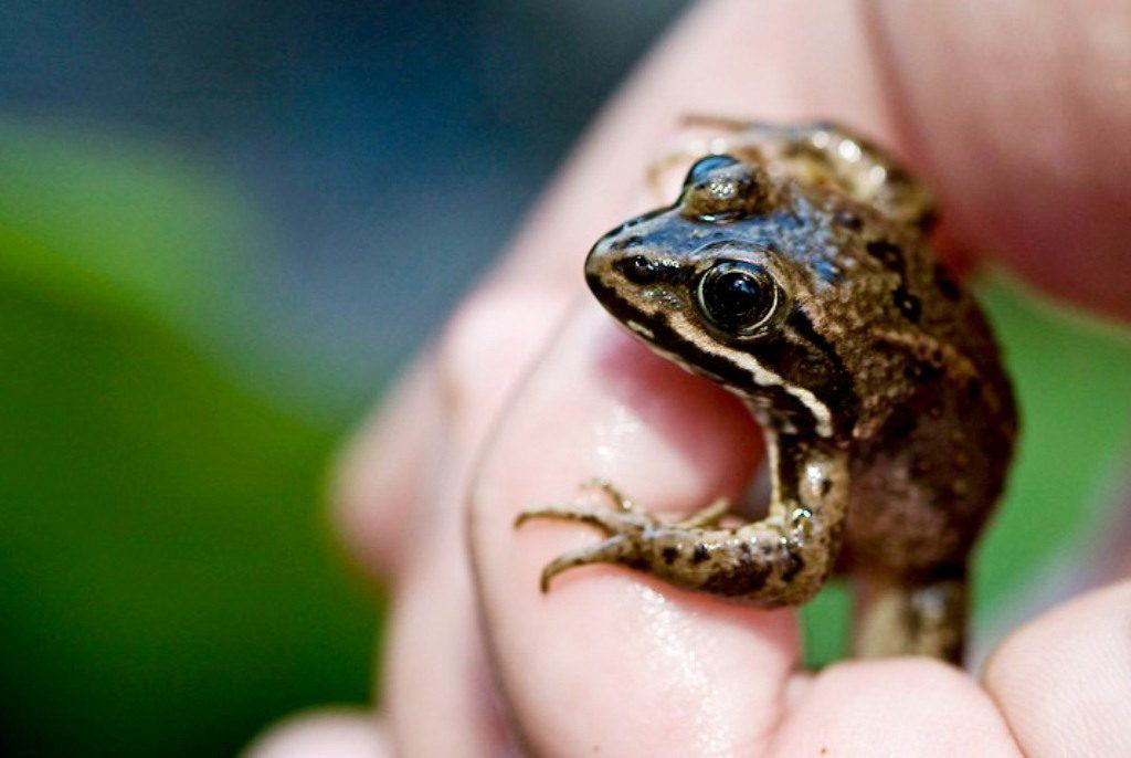 Oregon spotted frog in hand