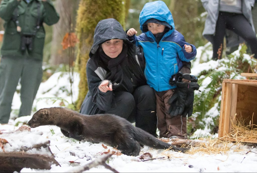 People releasing fisher in snowy forest for conservation