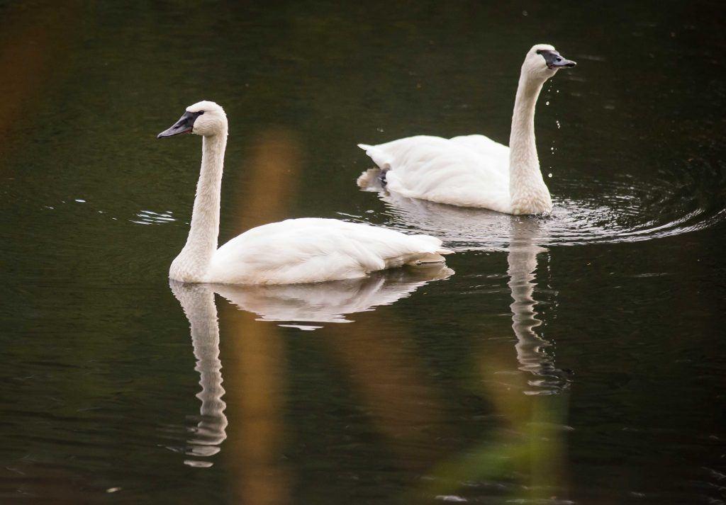 trumpeter swans on lake