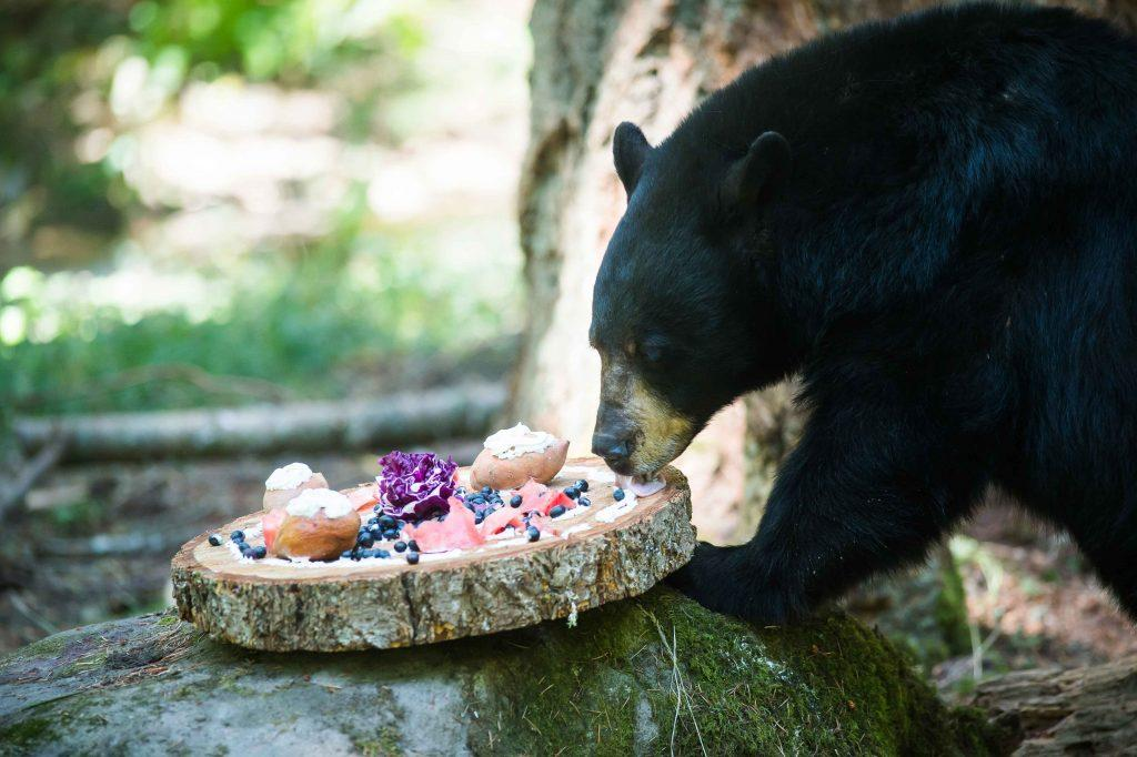Donate to Bear eating buffet for enrichment