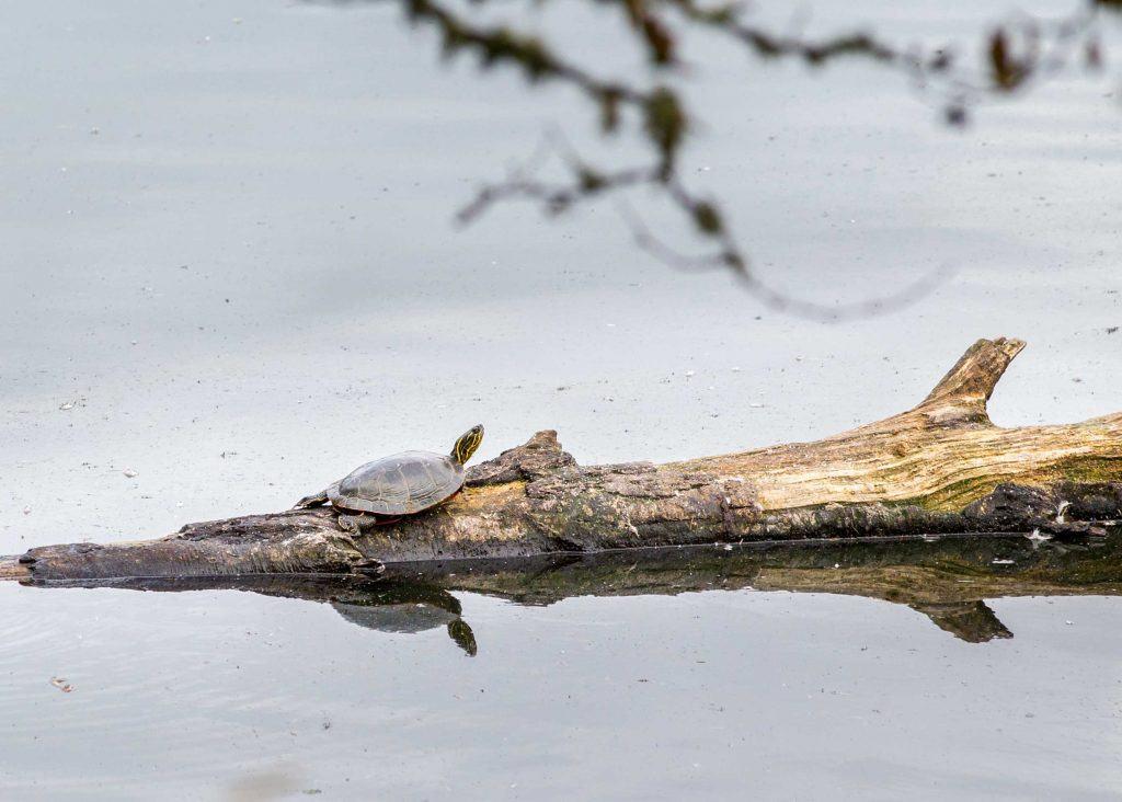 Western pond turtle on a log