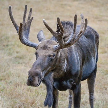 Moose with antlers