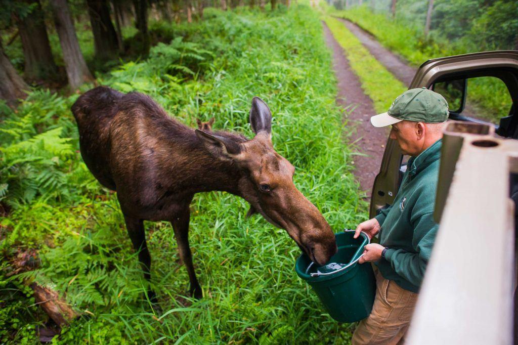 Keeper feeding moose on tour
