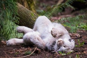 Nuka the Canada lynx rolling on the ground.